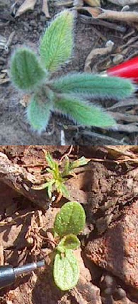 Onosmodium bejariense (Onosmodium molle) - False Gromwell, Soft Hair Marbleseed