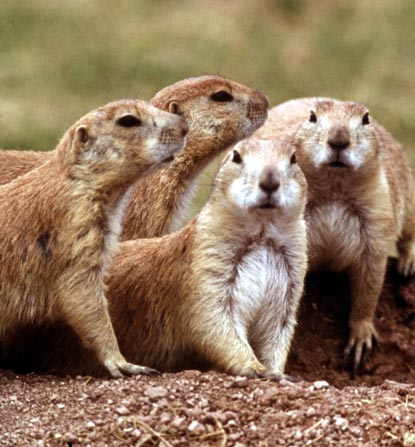 Blacktail Prairie Dogs - Cynomys ludovicianus