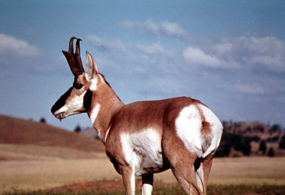 Pronghorn's coloration matches that of the prairie