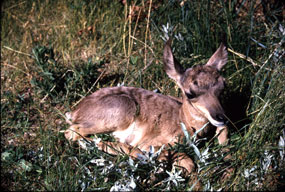 Pronghorn Antelope Kid