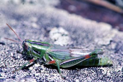 U.s. Grasshoppers Red-legged Grasshopper