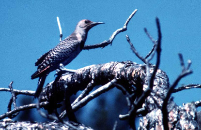 Northern Flicker (Red-shafted Flicker) - Colaptes auratus