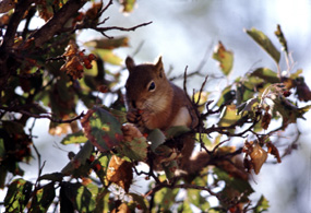 Red Squirrel - Tamiasciurus hudonicus