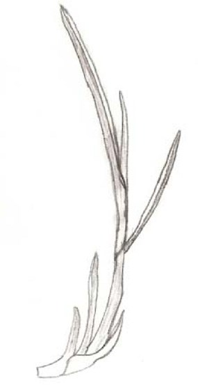 Schizachyrium scoparium (Andropogon scoparius) - Little Bluestem