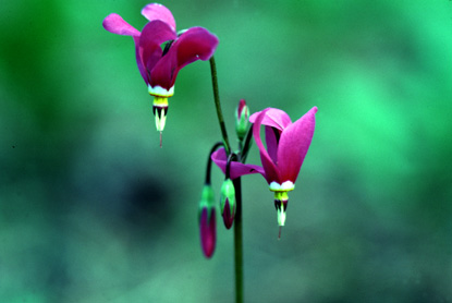 Southern Shooting Star - Dodecatheon pulchellum