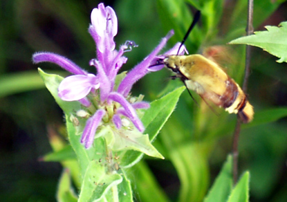 Snowberry Clearwing Hummingbird Moth - Hemaris diffinis
