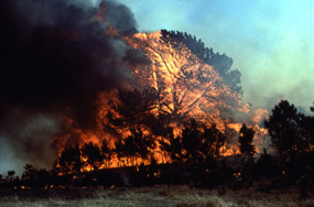 Ponderosa Pine  tree engulfed in fire