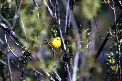 Yellow Warbler - Dendroica petechia