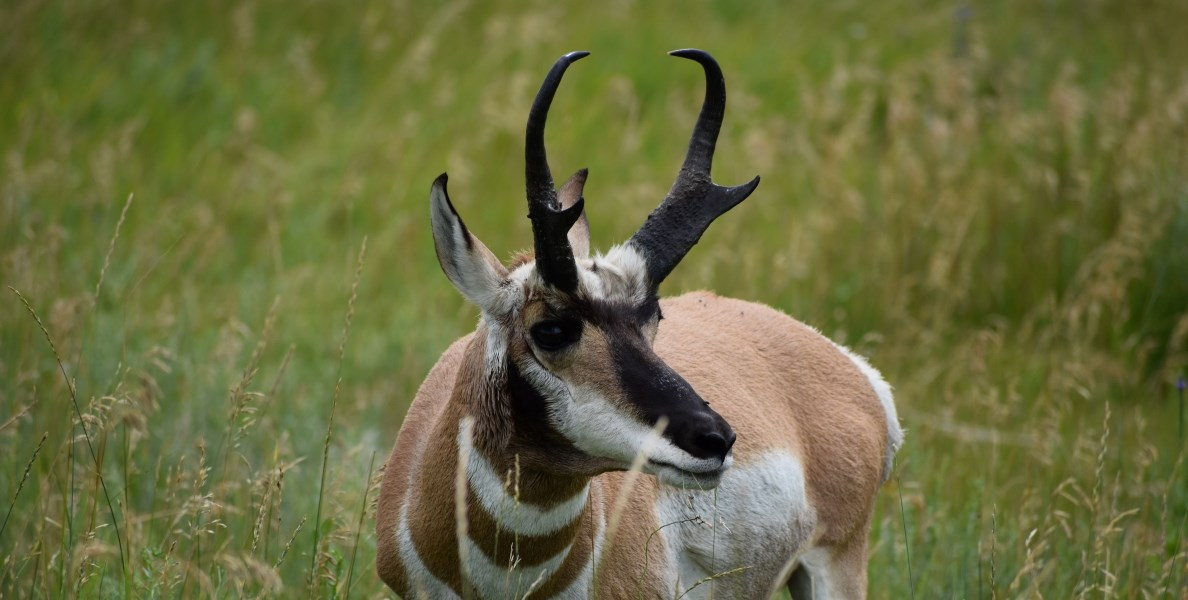 a brown and white pronghorn antelope with black pronged horns