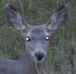 eyeshine from a deer