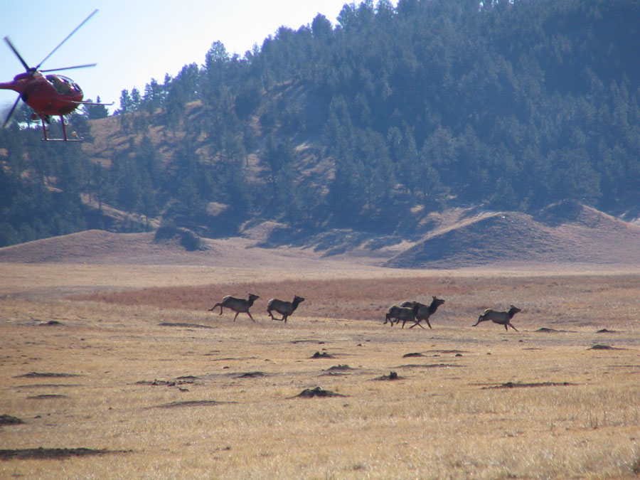 This month, elk will be captured and collared as part of a four-year study.