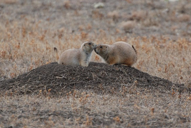 Two prairie dogs kiss each other on the nose.