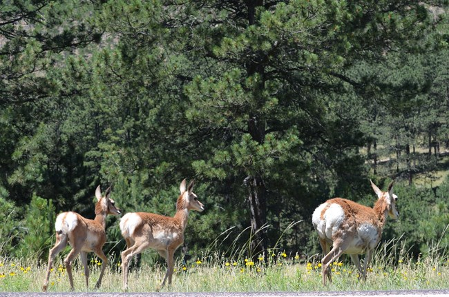 a female pronghorn with two fawns