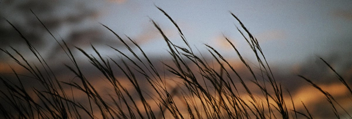 Grass stalks against a pink sunrise
