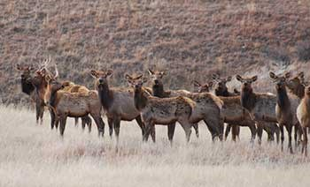 Small elk herd