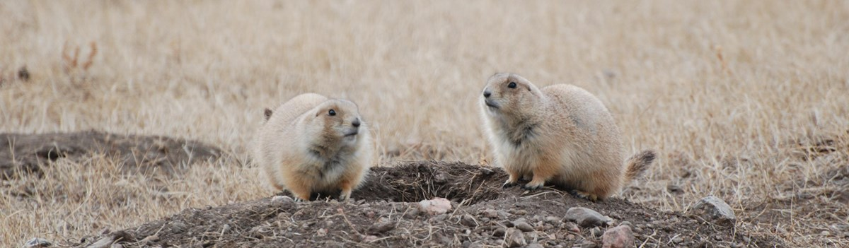 Two prairie dogs perch on a burrow.