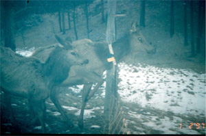 Elk with tracking collars