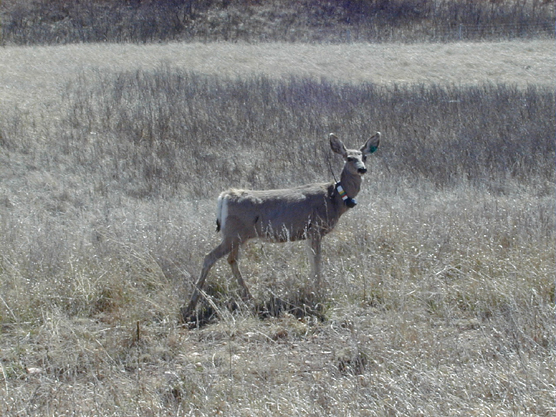 Mule deer wearing a radio collar as part of a chronic wasting disease study in Wind Cave National Park.