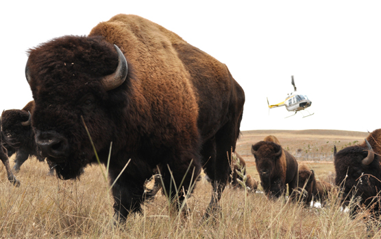 Wind Cave National Park Aids Mexico Bison Reintroduction