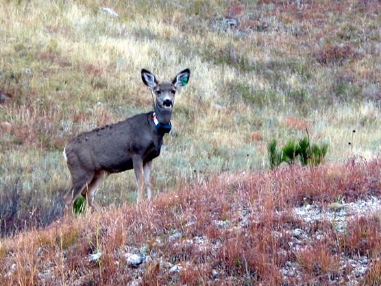 A mule deer, one of 17 deer at Wind Cave National Park wear radio collars as part of a three-year CWD study.