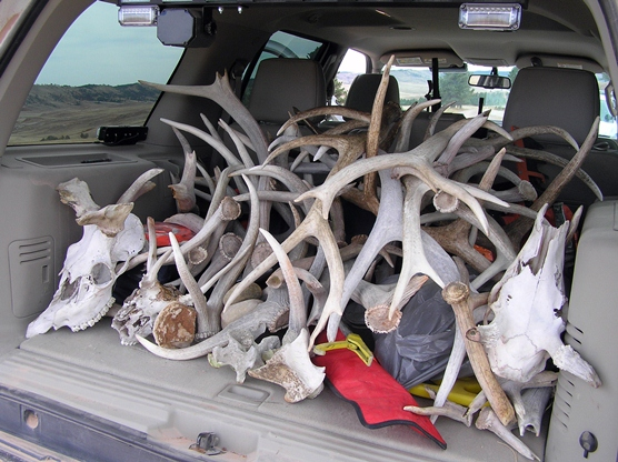 Antlers, bones, and skulls in the back of a ranger patrol car.