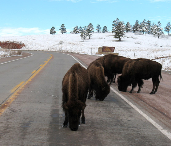 \\Inpwica20089487\wica shared\WICA SHARED\Interpretation\Press Photos\Bison on Road at South Entrance Low Res