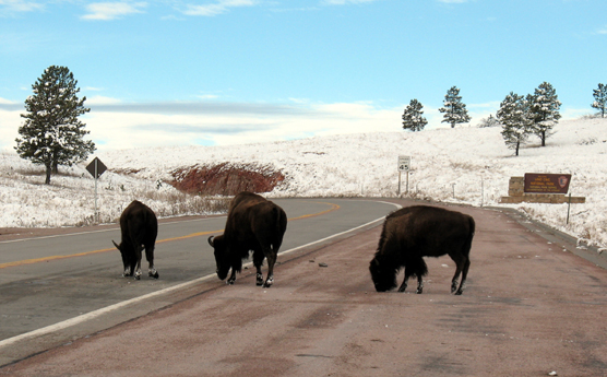 Three bison licking the road in Wind Cave National Park.
