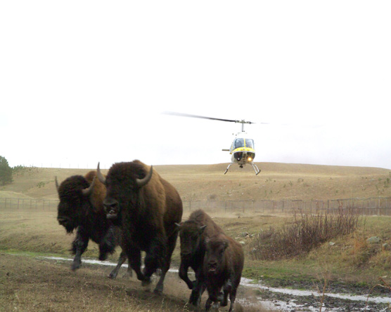 Bison approaching corrals during 2006 bison roundup.