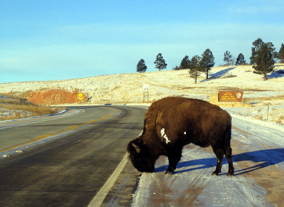 Bison can often be found along park highways in the winter licking salt on the roads left from passing vehicles.