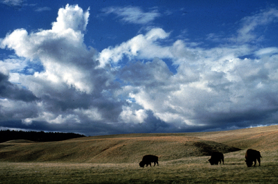 Bison on the prairie at Wind Cave National Park