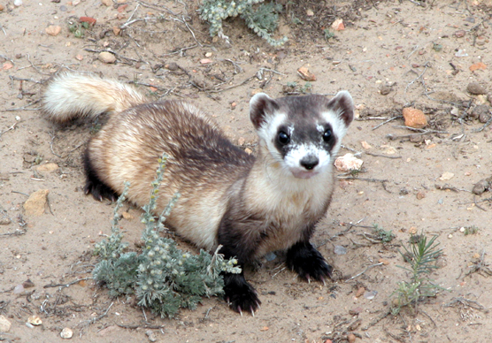 Black-footed ferret shown in Wind Cave National Park.