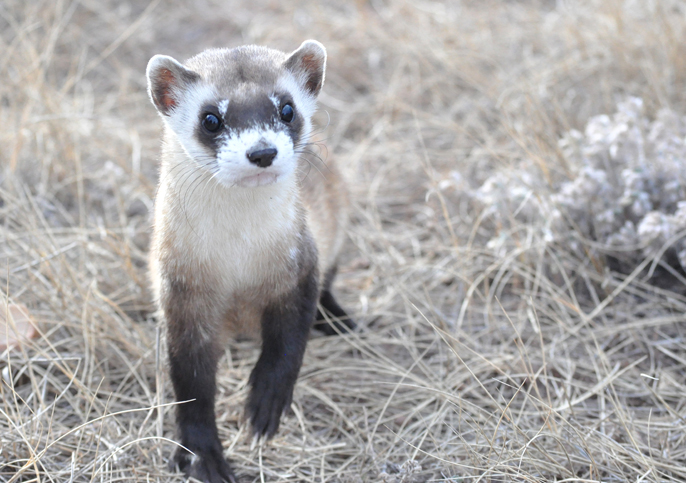 A black-footed ferret walking toward the camera
