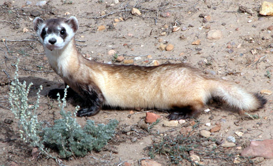 Black-footed Ferret in Wind Cave National Park