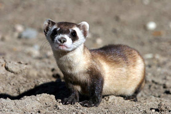Black-footed ferret looking at camera.