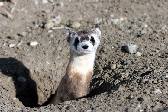 Black-footed ferret in prairie dog hole.