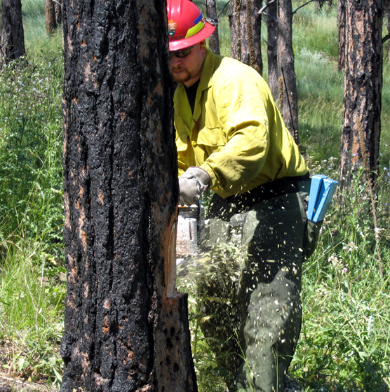Supervisory Forest Technician Jason Devcich using a chainsaw to cut down a tree.