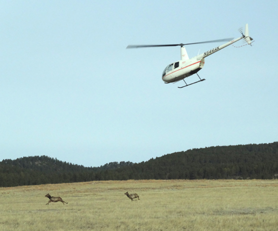 A white helicopter is chasing two elk across the prairie.