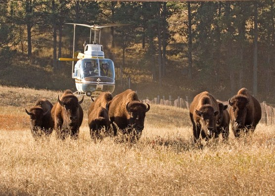 A helicopter herds bison into corrals.  Nearly three hundred bison were recently rounded up at Wind Cave National Park.