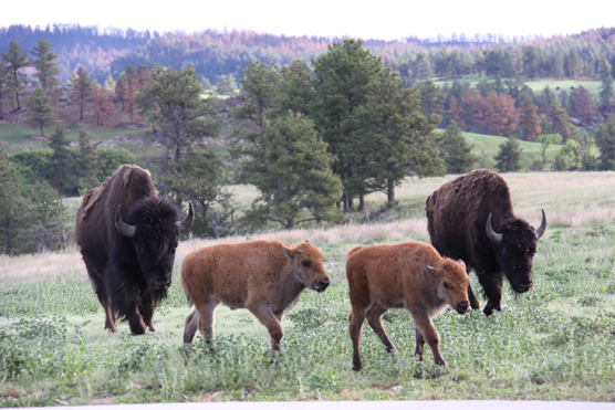 Two bison calves walking in front of their mothers up a slight rise.