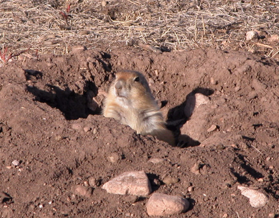 A prairie dog peers out of its burrow in Wind Cave National Park.