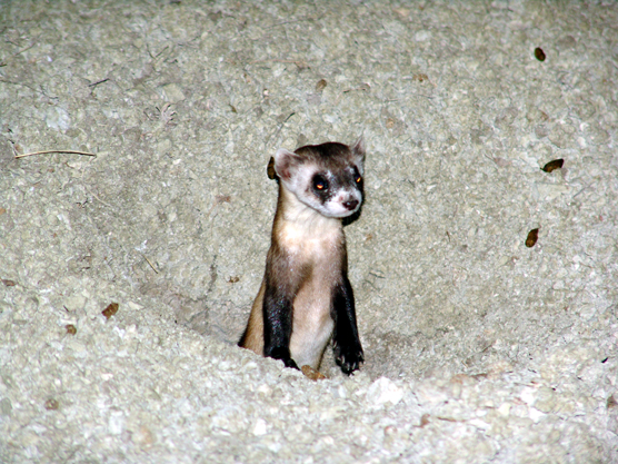 A black-footed ferret looking out of a burrow at night.