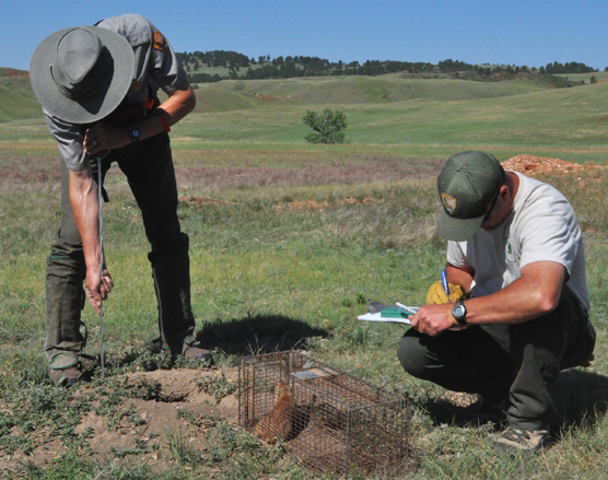 A park employee pushes a numbered reflector into the ground next to a burrow. There is a prairie dog in a cage near his feet. Another park employee kneels down nearby while writing information on a clipboard.