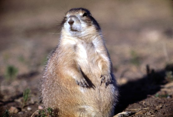 A seated prairie dog in Wind Cave National Park.