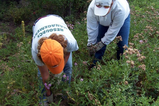 Crews at Wind Cave National Park pulling Canada thistle last summer as part of the park's exotic plant control program.