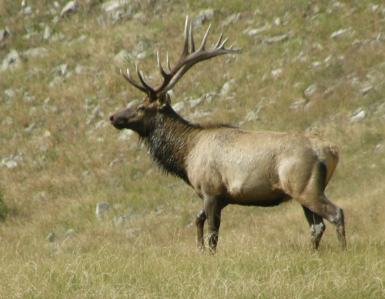 Bull elk, wet from wallowing in a stream, walks toward the left of the photo.