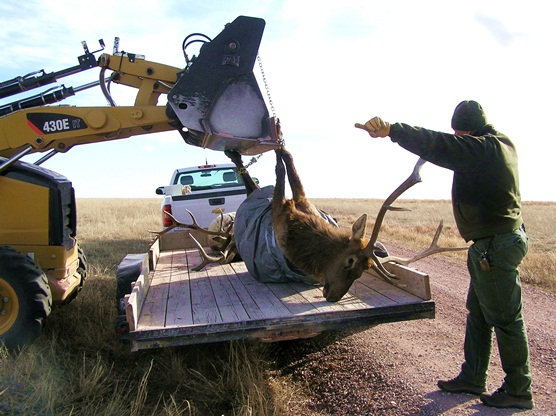 The body of an elk is loaded onto a flatbed trailer.