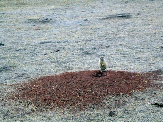 A black-tailed prairie dog sits on a burrow in Wind Cave National Park.