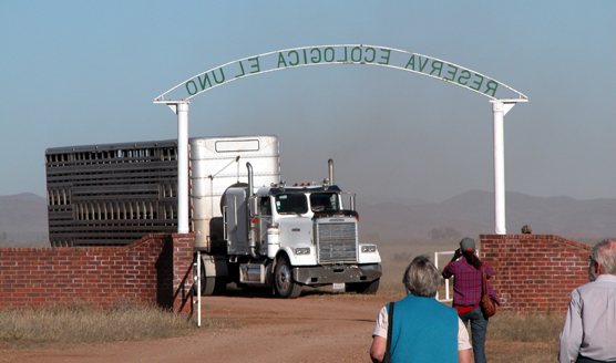Semi-trailer truck carrying Wind Cave bison arriving at the El Uno Ecological Reserve in Mexico.