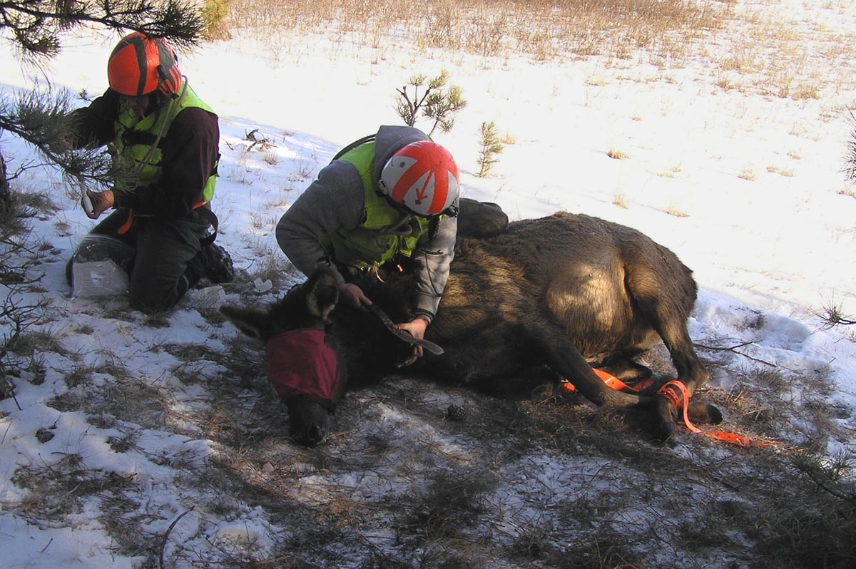 Two crew members from Leading Edge Aviation attach a radio collar to an elk.