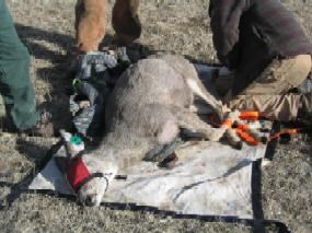 Captured deer being prepared for testing for chronic wasting disease in Wind Cave National Park.
